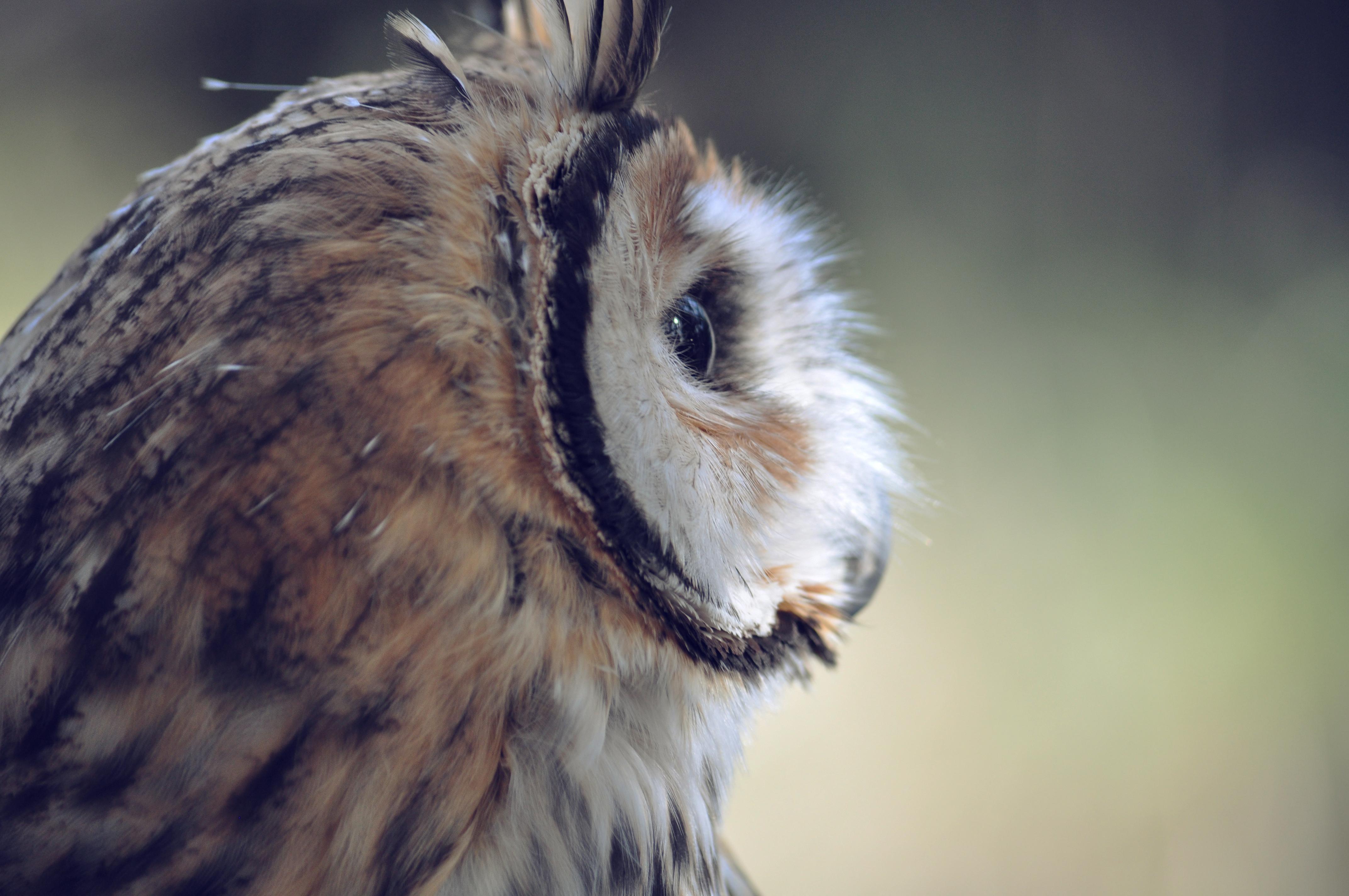 owl free stock photos life of pix