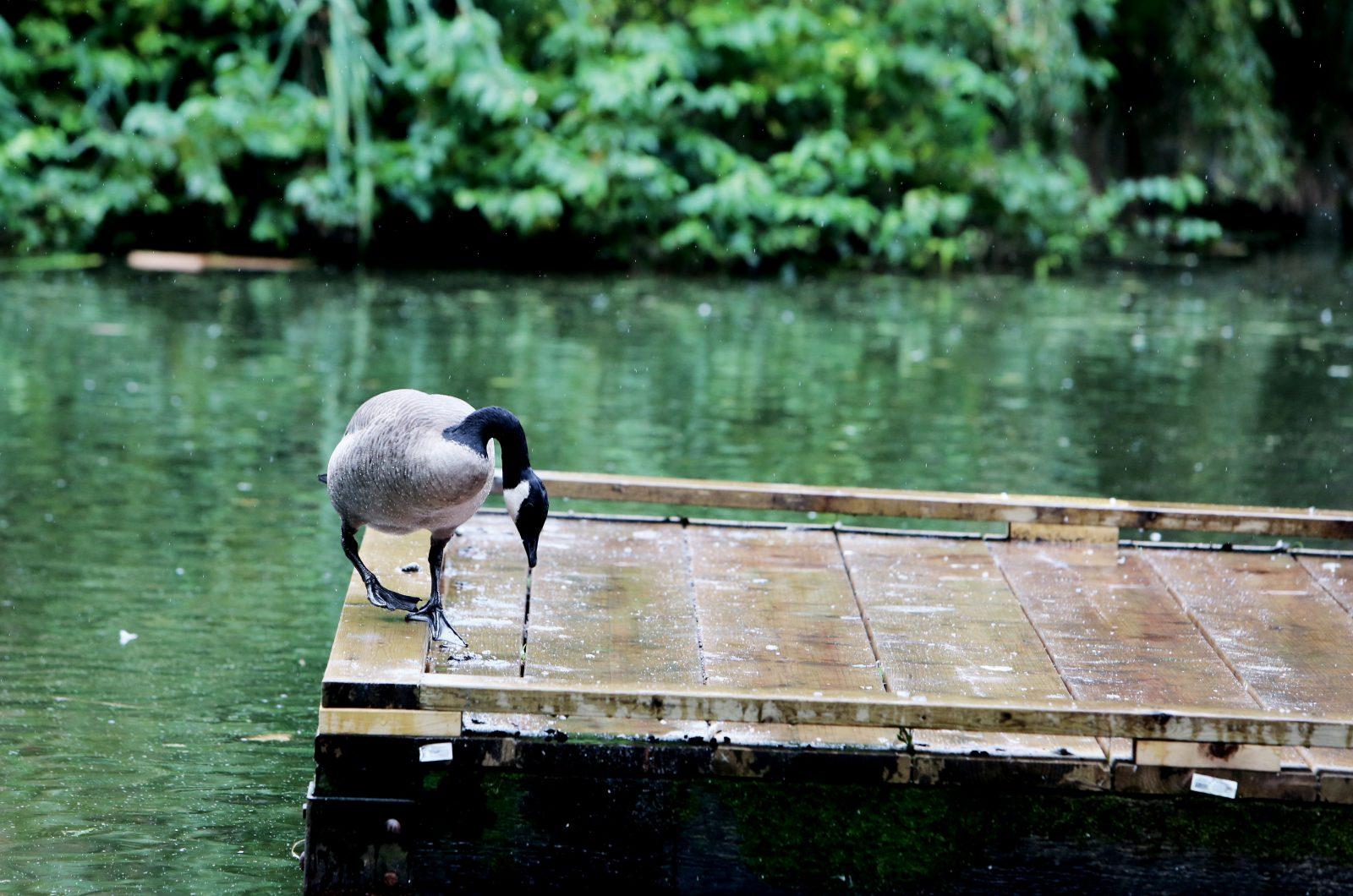Goose In The Rain