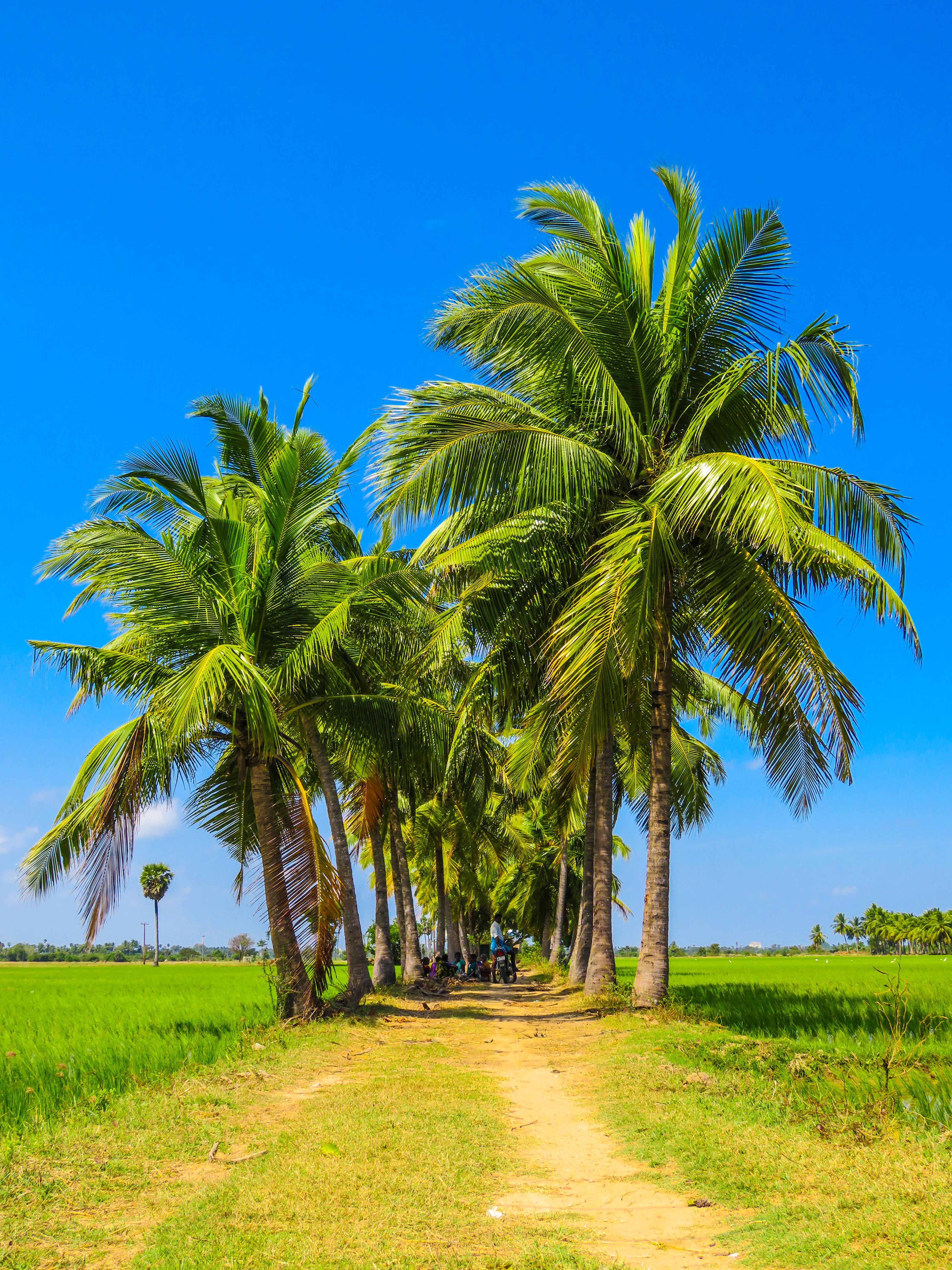 palm trees free stock photos life of pix