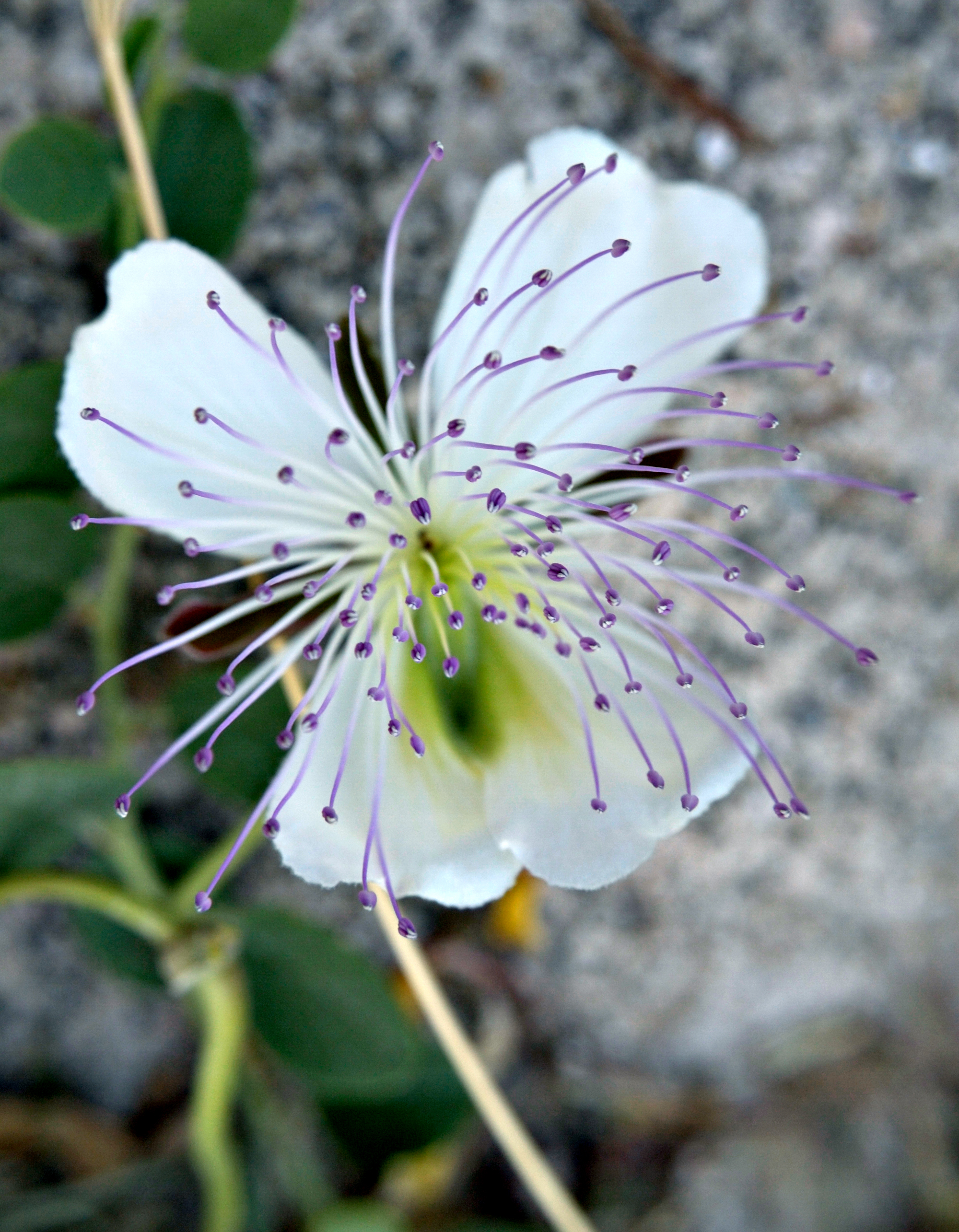 Flor de alcaparronera