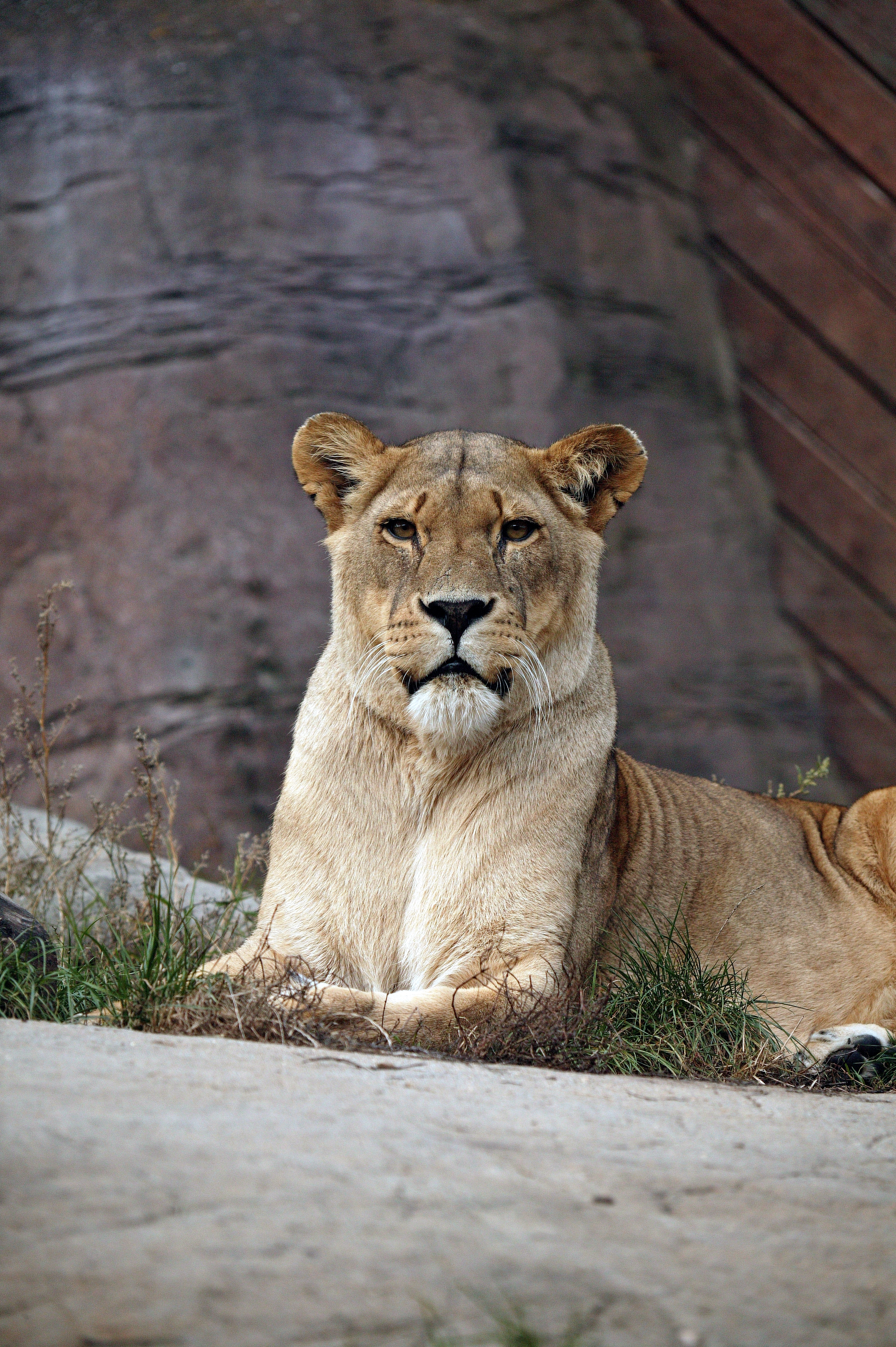 cougar 77