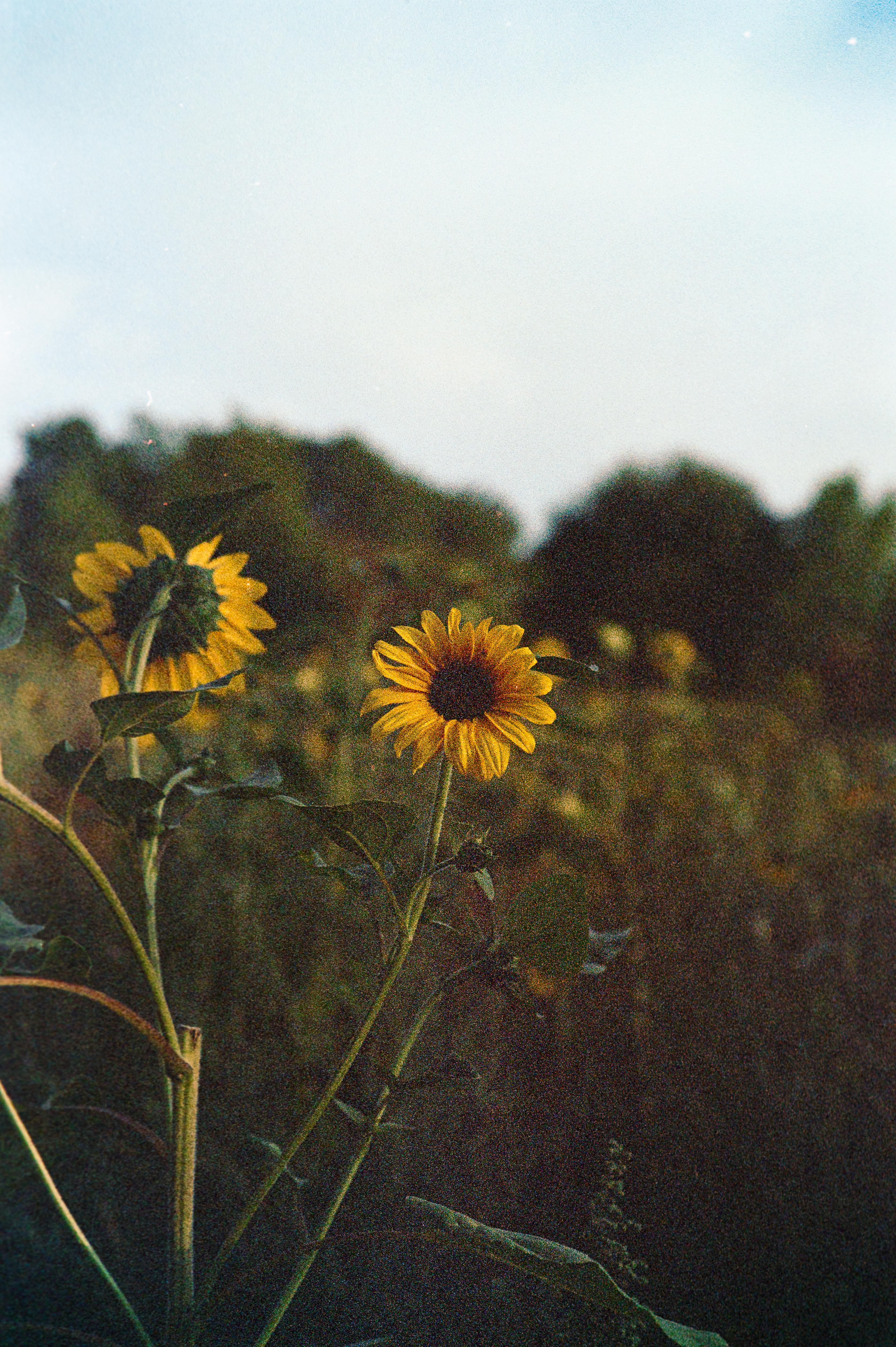 Sun's sunflower